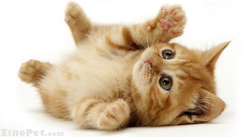 درباره گربه